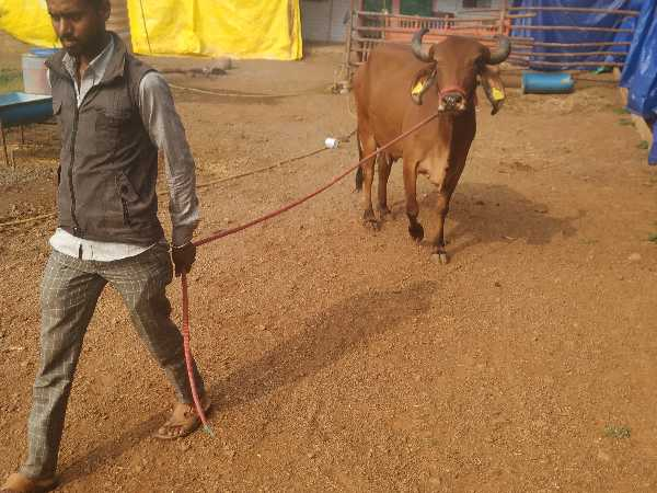 free_ad_classified_website_for_cattles